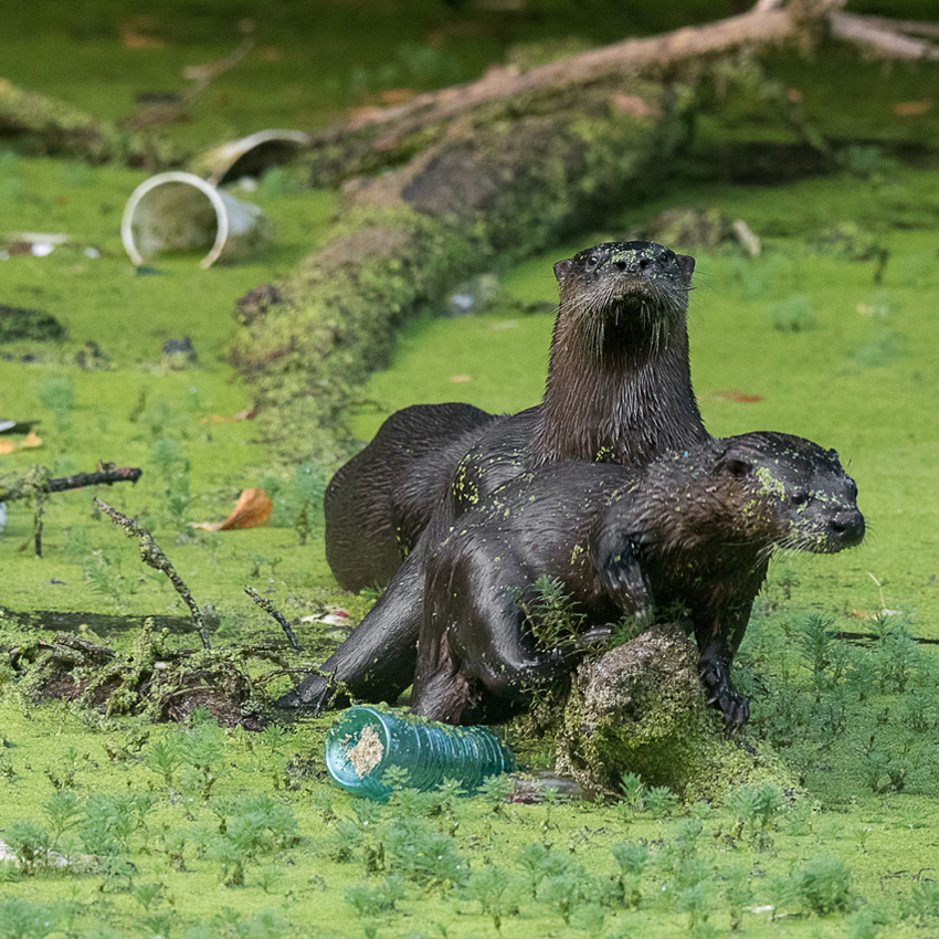 otters with litter in pond