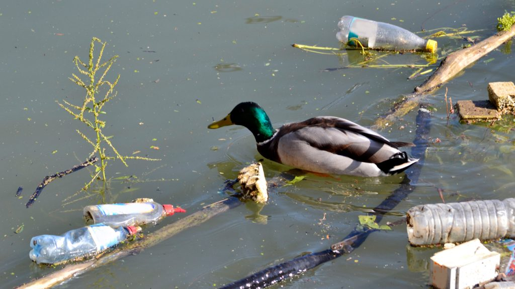 duck in water with litter